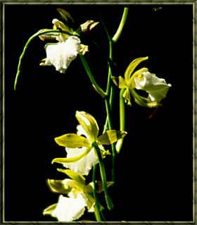 Blume Gran Canaria